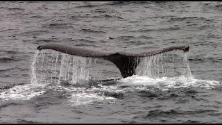 5.4.15 Humpback Whales #Monterey #Adventure #Travel