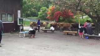 神津牧場で時間になったら移動するジャージー牛に 反応するロットワイラ...