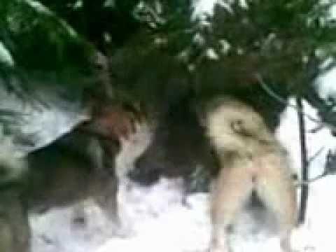 Охота на кабана с лайкой (Реальная охота на кабана)