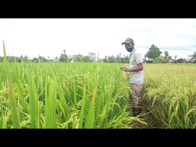 Inovasi Petani Padi Tingkatkan Hasil Produksi