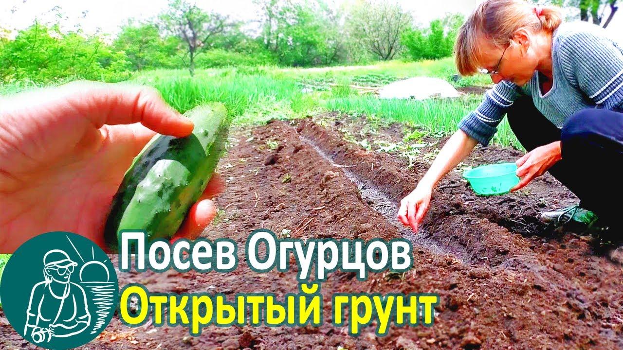 ? Посадка огурцов семенами в открытый грунт