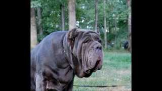 World Class Blue Neapolitan Mastiff Wild Child Weluna Rs