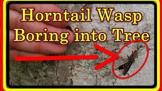 Horntail Wasp Boring Into A Tree - Long Red And Yellow Striped Wood Wasp Writhing | 1080hd