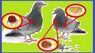 ¡Cuidado!  con los piojos de las palomas