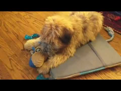 El Tigre Hobbes the Wheaten Terrier puppy playing at home