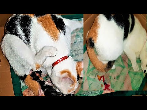 CAT GIVING BIRTH to a Cute and Colorful Spotted KITTENS (2ndTime)