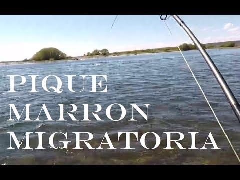 PIQUE MARRON MIGRATORIA