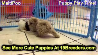 Maltipoo, Puppies, For, Sale, In, Wichita, Kansas, KS, Pittsburg, Hays, Liberal, Prairie Village, De