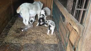 Бугай Алабай Дивея делится своим завтраком со щенками.