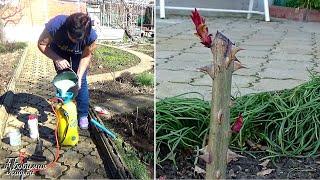 Что делать с розами весной в марте   Начинаю бороться с вредителями и болезнями уже сейчас