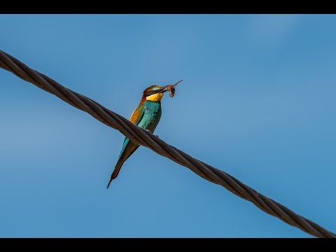European Bee Eater Removing The Sting From A Hornet