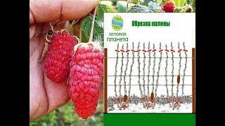 видео Осенняя подкормка малины после сбора урожая, обрезка, подкормка