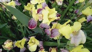 Цветут красивые цветы Ирисы. Футаж для видео монтажа скачать бесплатно