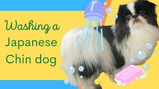 Washing and grooming a Japanese Chin dog