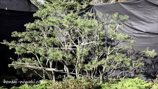 Sosna górska (Pinus mugo / Mugo Pine)