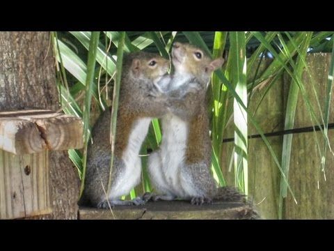Cute Young Squirrels Playing YouTube - Cat squirrel playing cutest thing youll see day