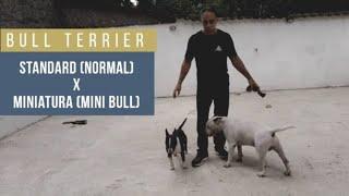 Bull Terrier standard (normal) x Bull Terrier Miniatura (Mini Bull)
