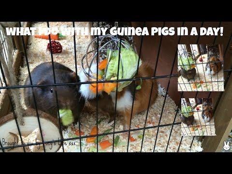 WHAT I DO WITH MY GUINEA PIGS IN A DAY!