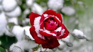 снег на розах С Васюта гр Сладкий сон