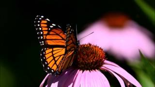 Viceroy Butterfly - Monarch Mimicry