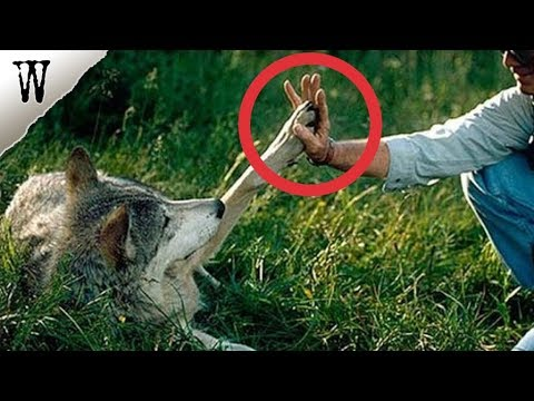 Man Rescues Wolf and Her Puppies, 4 Years Later...