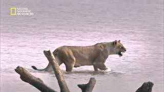 وثائقي - الاسد في مواجهه فرس النهر ـ ناشيونال جيوغرافيك أبوظبي4 National Geographic HD