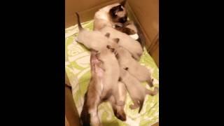 Многодетная кошка и семеро котят.