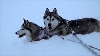 シベリアンハスキー 大和&サーシャ 大雪の散歩.