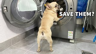 Human Washes Dogs Favorite Toys | Funny French Bulldog Reaction