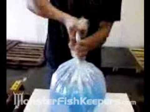 How To Properly Bag Fish : Large Bag With O2