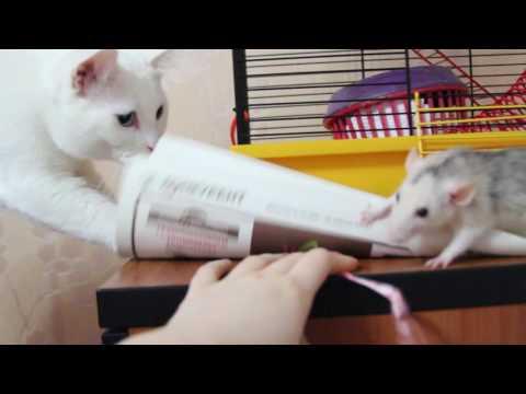 Дрессировка крысы и реакция котов