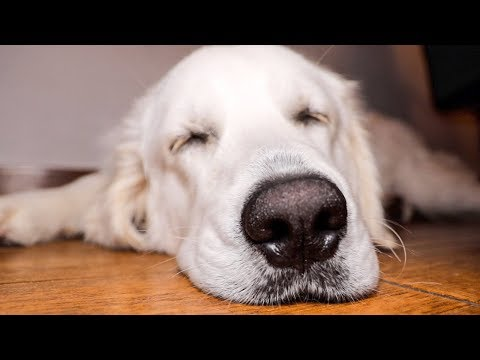 Snoring Retriever: Funny Sleeping Dog Bailey