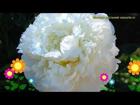Пион молочноцветковый Марие Лемоине. Краткий обзор, описание paeonia lactiflora Marie Lemoine