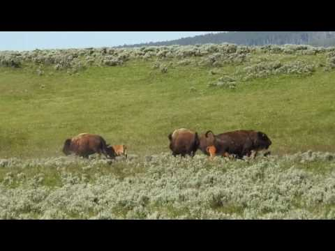 Yellowstone Bison Romp