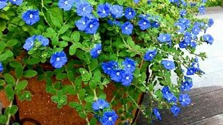 Como Plantar A Flor Azulzinha