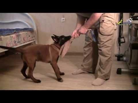 Дрессировка собак, как приучить щенка правильно играть 1