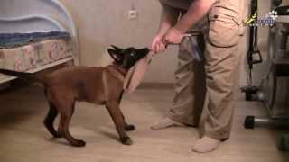 Дрессировка собак, как приучить щенка правильно играть 1(http://www.walkservice.ru/Forum/showthread.php?383 - для ОБСУЖДЕНИЙ и вопросов, и не забывайте ставить НРАВИТСЯ и ПОДПИСЫВАТЬСЯ...., 2013-07-13T07:19:21.000Z)