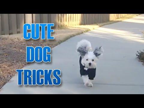 Cute Maltipoo Performs Dog Tricks