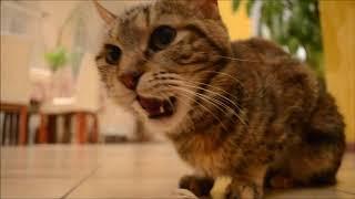 Кошка - курильский бобтейл Диана...