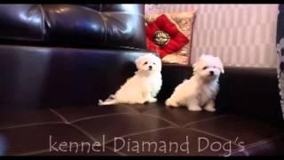 Веселые щенки Болонки