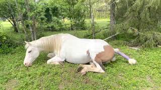 Moxie's First Foal - American Paint Horse Giving Birth - Maximum White Foal