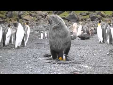 SEAL FUCKS PENGUIN REPEATEDLY from YouTube · Duration:  54 seconds