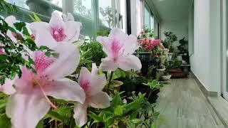 싱그러운 아침 베란다풍경, 삽목 일년된 철쭉꽃이 피었습…