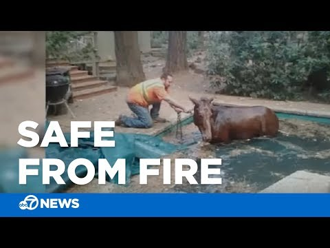 - #GoodNews: Mule Found Safe In Pool After Wildfires Torch Area