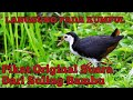 Suara Pikat Burung Ruak Ruak Untuk Malam Hari Natural Suara Dijamin Langsung Pada Datang  Mp3 - Mp4 Download