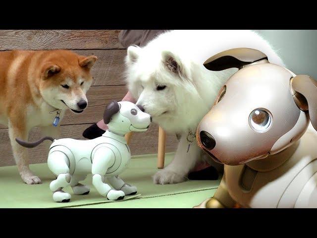 Dogs react to $3000 Robot Dog