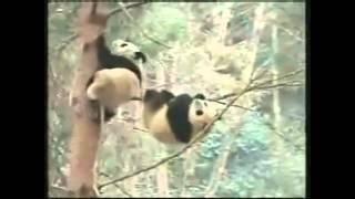 Intro Panda trop D4RK.