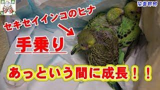 岩本兄弟チャンネルのご視聴ありがとうございます。手乗りインコ飼育日...