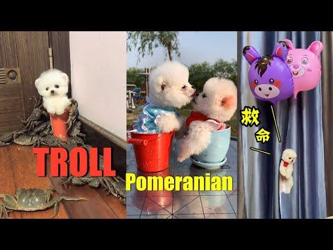 tiktok Chó Phốc Sóc Mini | Funny and Cute Pomeranian #1