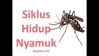 Animasi Siklus Hidup Nyamuk